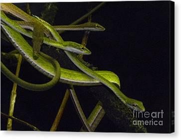 Burmese Vine Snakes Canvas Print by Ron Sanford
