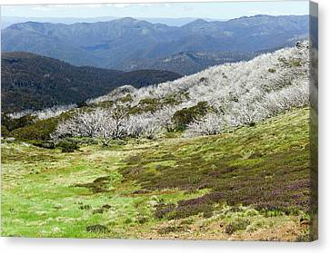 Burned Snow Gums On Mt Stirling Canvas Print by Dr Jeremy Burgess