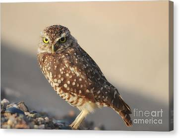 Burrowing Owl  Canvas Print by Donna Greene