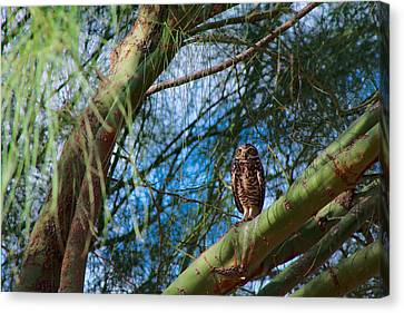 Burrowing Owl In A Palo Verde Tree Canvas Print by Ed  Cheremet