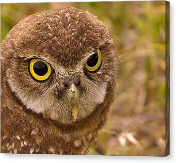 Burrowing Owl Portrait Canvas Print by Anne Rodkin