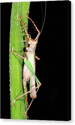 Bush Cricket Canvas Print by Dr Morley Read
