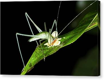 Bush Cricket Eating A Fallen Flower Canvas Print by Dr Morley Read