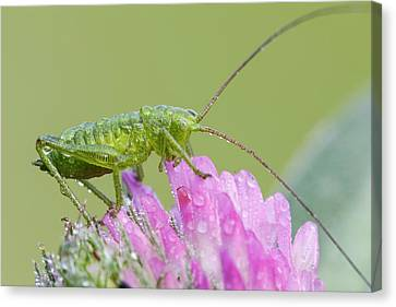 Bush Cricket Canvas Print by Heath Mcdonald