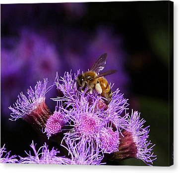 Busy Australian Bee Collecting Pollen Canvas Print by Margaret Saheed