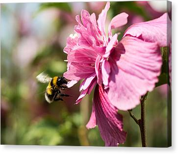 Busy Bee Canvas Print by Marco Oliveira