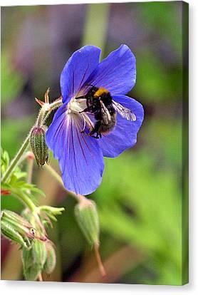 Busy Bee On A Blue Geranium Canvas Print by Gill Billington
