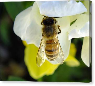 Busy Bee Toowoomba Queensland Australia Canvas Print by Sandra Sengstock-Miller