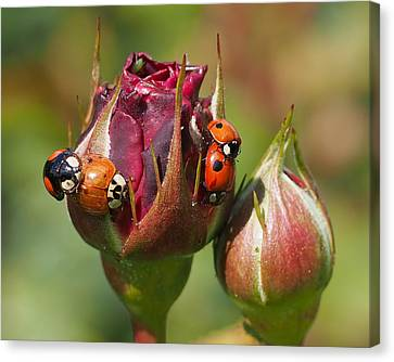 Busy Ladybugs Canvas Print by Rona Black
