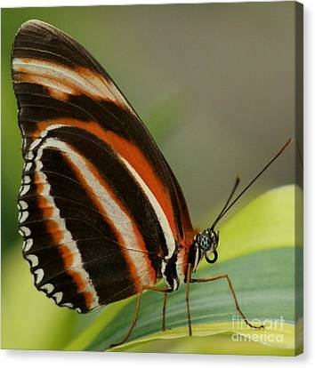 Butterfly Autumn With Green Head Canvas Print by Gail Matthews