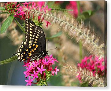 Butterfly Days Canvas Print by Suzanne Gaff