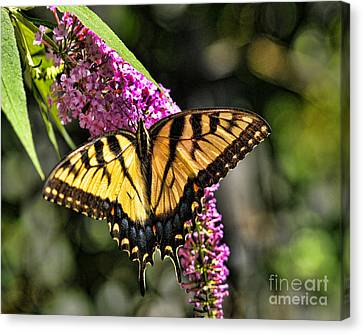 Butterfly - Eastern Tiger Swallowtail Canvas Print by Paul Ward