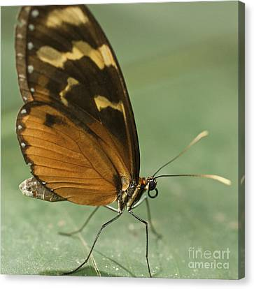 Butterfly Eueides Isabella Canvas Print by Heiko Koehrer-Wagner