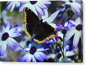 Butterfly In Blue Canvas Print by Heidi Smith