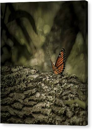 Butterfly Canvas Print by Mario Celzner