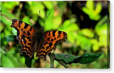 Butterfly Canvas Print by Martin Newman