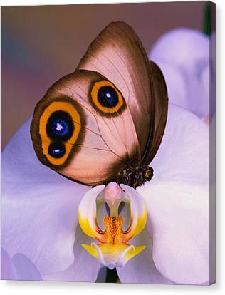 Butterfly Silky Owl  Taenaris Catops Canvas Print by Leslie Crotty