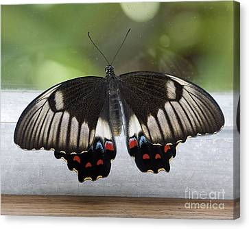Butterfly Canvas Print by Steven Ralser