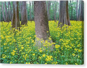 Butterweed Blooming In Congaree Canvas Print by Jeff Lepore