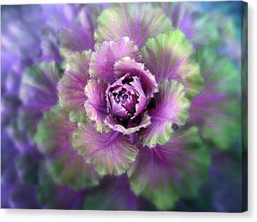Cabbage Flower Canvas Print by Jessica Jenney