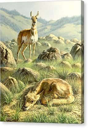 Cached Treasure - Pronghorn Canvas Print by Paul Krapf