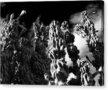 Cactus 1 Bw Canvas Print by Mariusz Kula