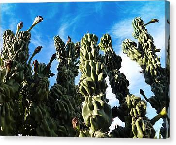 Cactus 1 Canvas Print by Mariusz Kula