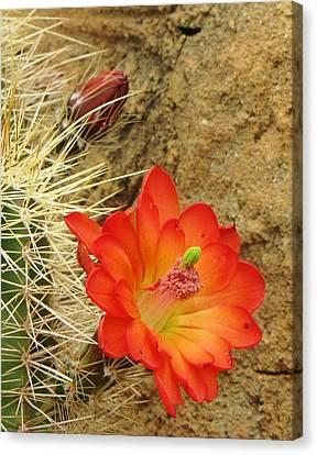 Cactus Flower Bright Canvas Print by Feva  Fotos