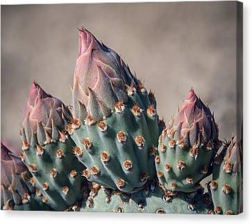 Cactus Flower Buds Canvas Print by Joseph Smith