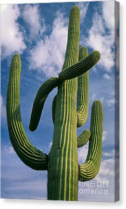 Cactus In The Clouds Canvas Print by Inge Johnsson