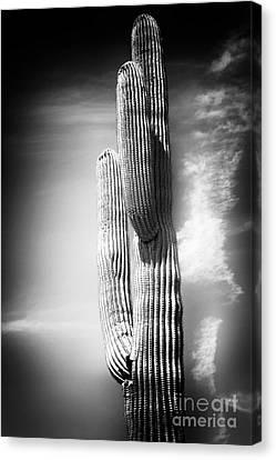 Cactus Spoltlight Canvas Print by John Rizzuto