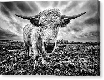 Cadzow White Cow Female Canvas Print by John Farnan