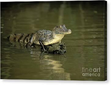 Caiman Crocodile Canvas Print by Ron Sanford