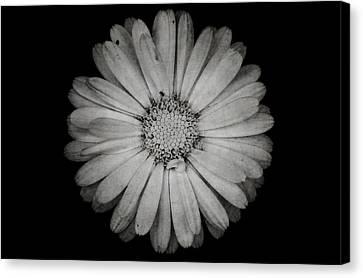 Calendula Flower - Textured Version Canvas Print by Laura Melis