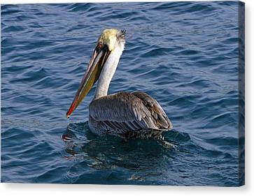 California Brown Pelican Canvas Print by Shoal Hollingsworth