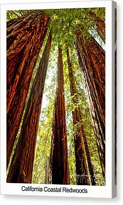 California Coastal Redwoods Canvas Print by Artist and Photographer Laura Wrede