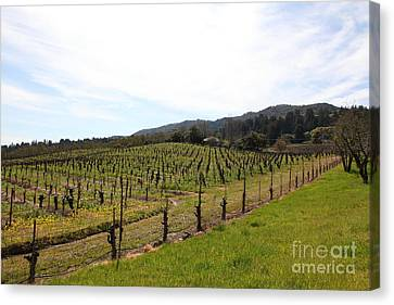 California Vineyards In Late Winter Just Before The Bloom 5d22114 Canvas Print by Wingsdomain Art and Photography