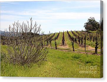 California Vineyards In Late Winter Just Before The Bloom 5d22121 Canvas Print by Wingsdomain Art and Photography