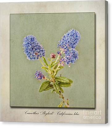 Californian Lilac Canvas Print by John Edwards