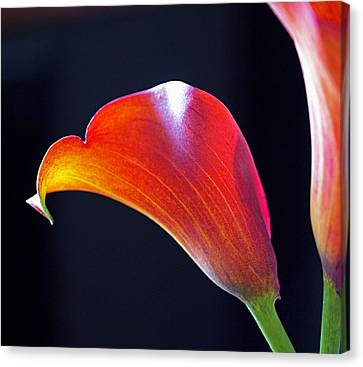 Calla Colors And Curves Canvas Print by Rona Black