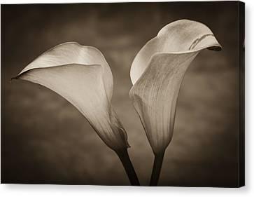 Calla Lilies In Sepia Canvas Print by Sebastian Musial