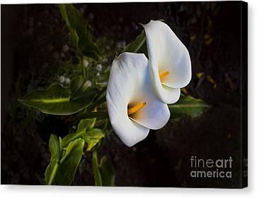 Calla Lily Beauty Canvas Print by Al Bourassa