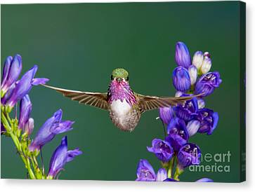 Calliope Hummingbird Stellula Calliope Canvas Print by Anthony Mercieca