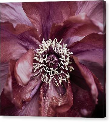 Camellia Canvas Print by Frank Tschakert