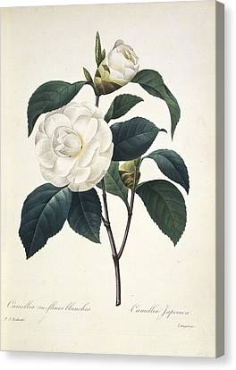 Camellia Japonica, 19th Century Canvas Print by Science Photo Library