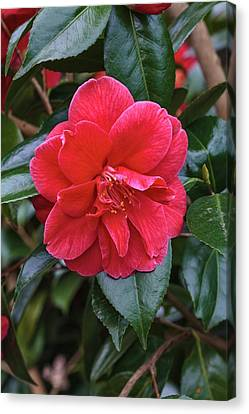 Camellia Japonica 'mercury' Canvas Print by Geoff Kidd