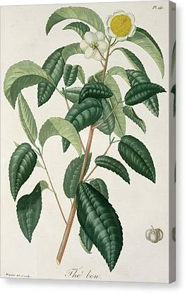 Camellia Thea Canvas Print by LFJ Hoquart