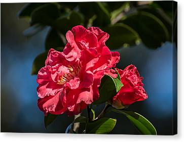 Camellia With Bud Canvas Print by Zina Stromberg