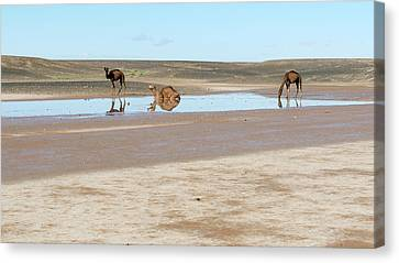 Camels And Drying Saharan Lake Canvas Print by Thierry Berrod, Mona Lisa Production