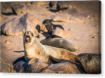 Can I Get Some Service Here - Fur Seal Photograph Canvas Print by Duane Miller